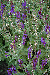 Lyrical Blues Meadow Sage (Salvia nemorosa 'Lyrical Blues') at Gertens