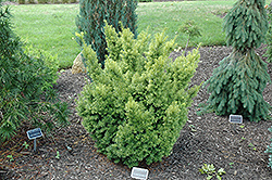 Dwarf Bright Gold Yew (Taxus cuspidata 'Dwarf Bright Gold') at Gertens