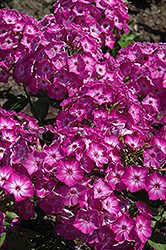 Early Start Purple Garden Phlox (Phlox paniculata 'Early Start Purple') at Gertens