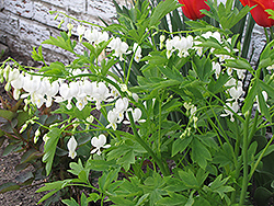 White Bleeding Heart (Dicentra spectabilis 'Alba') at Gertens