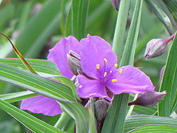 Concord Grape Spiderwort (Tradescantia x andersoniana 'Concord Grape') at Gertens