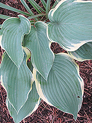 Regal Splendor Hosta (Hosta 'Regal Splendor') at Gertens