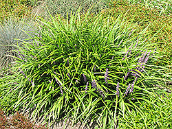 Lily Turf (Liriope spicata) at Gertens