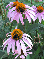 Purple Coneflower (Echinacea purpurea) at Gertens
