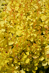 Sunjoy Mini Saffron Japanese Barberry (Berberis thunbergii 'Kasia') at Gertens