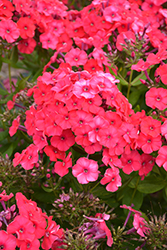 Peacock™ Cherry Red Garden Phlox (Phlox paniculata 'Peacock Cherry Red') at Gertens