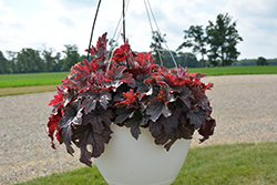 Plum Cascade™ Foamy Bells (Heucherella 'Plum Cascade') at Gertens