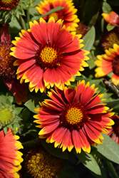 Gallo Dark Bicolor Blanket Flower (Gaillardia aristata 'Gallo Dark Bicolor') at Gertens
