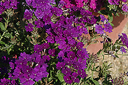 Lanai® Blue Denim Verbena (Verbena 'Lanai Blue Denim') at Gertens