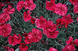 Eastern Star Pinks (Dianthus 'Red Dwarf') at Gertens