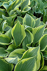 Twilight Hosta (Hosta 'Twilight') at Gertens