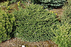 Sharp Needle Dwarf Norway Spruce (Picea abies 'Mucronata') at Gertens