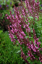Sensation Deep Rose Meadow Sage (Salvia nemorosa 'Sensation Deep Rose') at Gertens