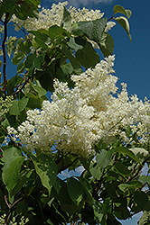 Ivory Silk Tree Lilac (tree form) (Syringa reticulata 'Ivory Silk (tree form)') at Gertens