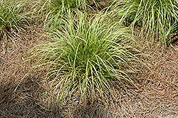 Gold Fountain Sedge (Carex dolichostachya 'Kaga Nishiki') at Gertens