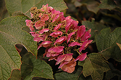 Ruby Slippers Hydrangea (Hydrangea quercifolia 'Ruby Slippers') at Gertens