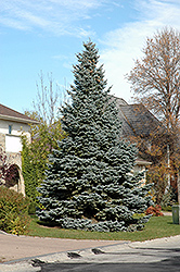 Baby Blue Colorado Blue Spruce (Picea pungens 'Baby Blue') at Gertens