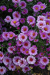 Purple Dome Aster (Aster novae-angliae 'Purple Dome') at Gertens