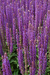 East Friesland Sage (Salvia nemorosa 'East Friesland') at Gertens