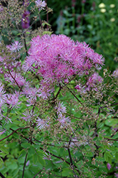 Black Stockings Meadow Rue (Thalictrum 'Black Stockings') at Gertens