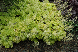 Lime Ruffles Coral Bells (Heucherella 'Lime Ruffles') at Gertens