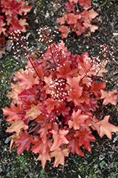 Peach Flambe Coral Bells (Heuchera 'Peach Flambe') at Gertens