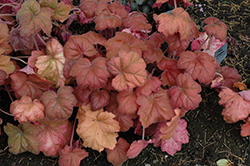 Southern Comfort Coral Bells (Heuchera 'Southern Comfort') at Gertens