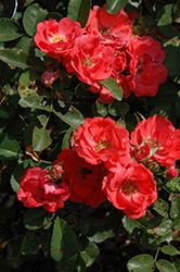 Coral Drift Rose (Rosa 'Meidrifora') at Gertens