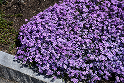 Purple Beauty Moss Phlox (Phlox subulata 'Purple Beauty') at Gertens