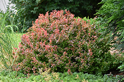 Admiration Japanese Barberry (Berberis thunbergii 'Admiration') at Gertens