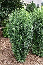 Straight Talk™ Common Privet (Ligustrum vulgare 'Swift') at Gertens