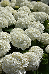 Incrediball Hydrangea (Hydrangea arborescens 'Abetwo') at Gertens