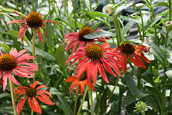Tomato Soup Coneflower (Echinacea 'Tomato Soup') at Gertens