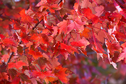 Autumn Radiance Red Maple (Acer rubrum 'Autumn Radiance') at Gertens
