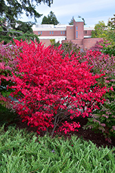 Compact Winged Burning Bush (Euonymus alatus 'Compactus') at Gertens