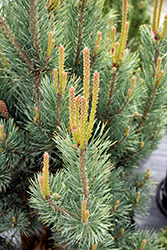 Dwarf Blue Scotch Pine (Pinus sylvestris 'Glauca Nana') at Gertens