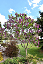 Sensation Lilac (Syringa vulgaris 'Sensation') at Gertens