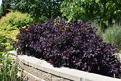 Royal Purple Smokebush (Cotinus coggygria 'Royal Purple') at Gertens