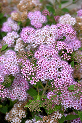 Little Princess Spirea (Spiraea japonica 'Little Princess') at Gertens