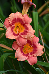 Strawberry Candy Daylily (Hemerocallis 'Strawberry Candy') at Gertens