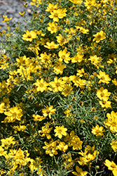 Sylvester Tickseed (Coreopsis verticillata 'Sylvester') at Gertens