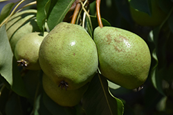Luscious Pear (Pyrus communis 'Luscious') at Gertens