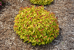 Double Play Candy Corn Spirea (Spiraea japonica 'NCSX1') at Gertens