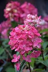 Fire Light Hydrangea (Hydrangea paniculata 'SMHPFL') at Gertens