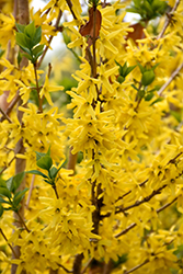 Gold Cluster Forsythia (Forsythia x intermedia 'Courtaneur') at Gertens