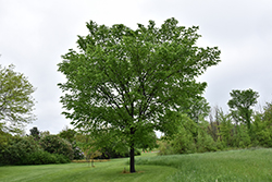 Valley Forge Elm (Ulmus americana 'Valley Forge') at Gertens