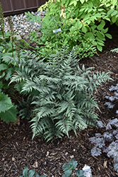 Godzilla Giant Japanese Painted Fern (Athyrium 'Godzilla') at Gertens