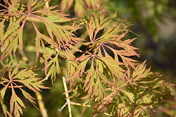 Ice Dragon™ Maple (Acer 'IsliD') at Gertens