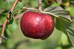 Frostbite™ Apple (Malus 'MN 447') at Gertens